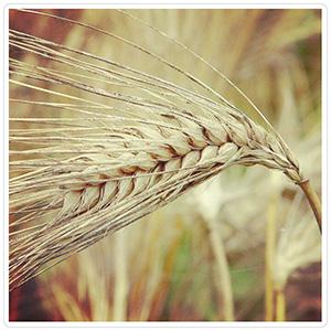 La cebada ingrediente principal de las Barley Wine